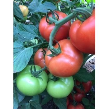 Semințe tomate Moldoveanu F1 - 500 sem