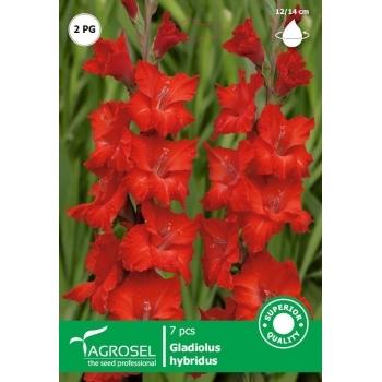 Bulbi Gladiole Rosu 7