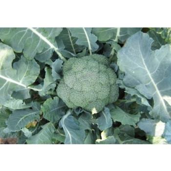 Seminte de broccoli Agassi F1, 1000 seminte, Rijk Zwaan #2