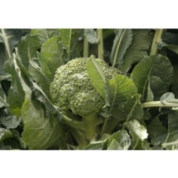 Seminte de broccoli Agassi F1, 1000 seminte, Rijk Zwaan #3
