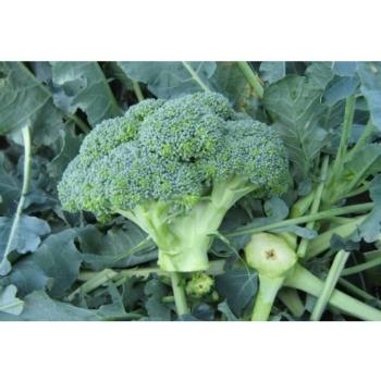Seminte de broccoli Agassi F1, 1000 seminte, Rijk Zwaan