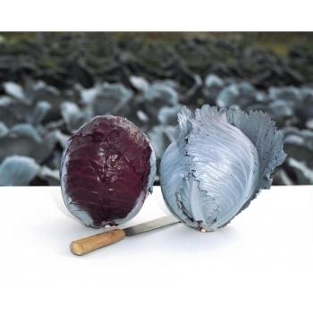 Seminte de varza rosie Buscaro F1, 1000 seminte, Bejo