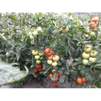 Seminte tomate Lorely F1(1000 sem) Clause