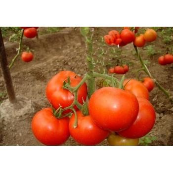 Seminte tomate Tamaris F1(250 sem) Clause