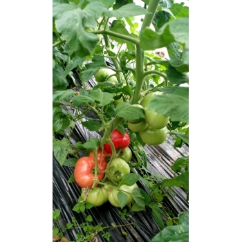 Seminte tomate Aphen F1(250 sem) Clause