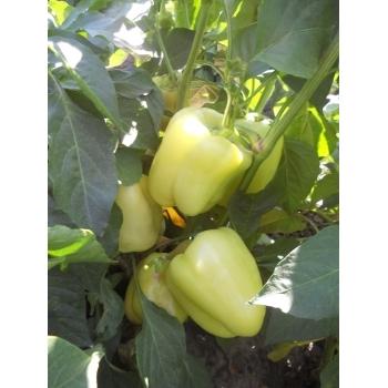Seminte ardei gras Daciana F1(20 sem), Agrosel, 3PG #3