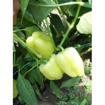 Seminte ardei gras Daciana F1(20 sem), Agrosel, 3PG