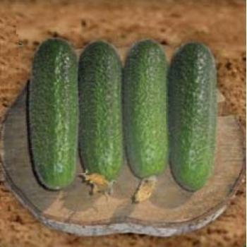 Seminte castraveti Metex F1(100 sem), Agrosel