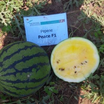 Seminte pepene verde Peace F1(0.5 gr), Agrosel, 3PG