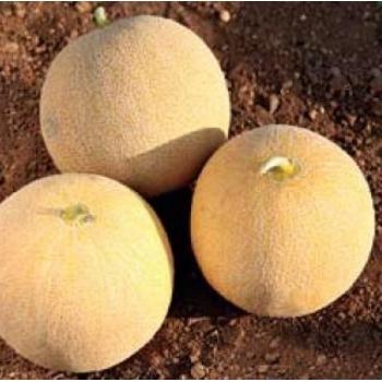 Seminte pepene galben Rio Gold F1(100 sem), Agrosel
