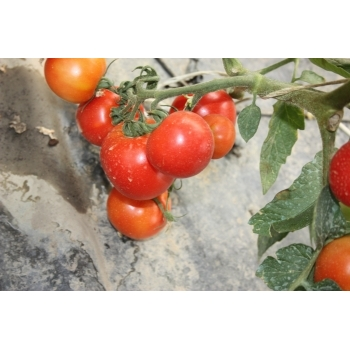 Seminte tomate Raluca(3000 sem), Agrosel