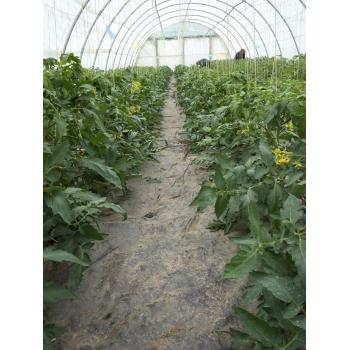 Seminte tomate Raluca(3000 sem), Agrosel #4