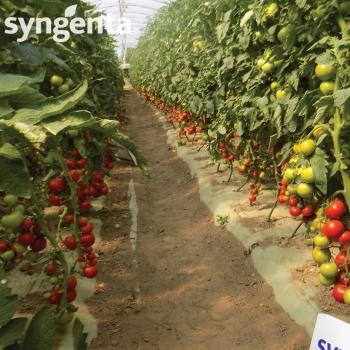 Seminte tomate Izmir F1(500 sem), Syngenta