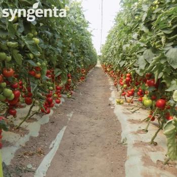 Seminte tomate Sandoline F1(500 sem), Syngenta