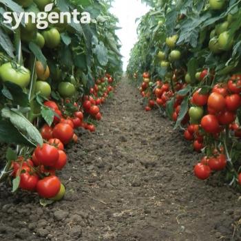 Seminte tomate Panekra F1(500 sem), Syngenta