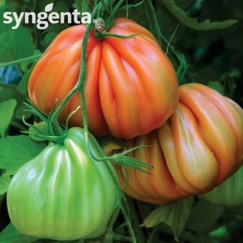 Seminte tomate Arawak F1(500 sem), Syngenta