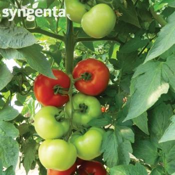 Seminte tomate Lady Rosa F1(500 sem), Syngenta