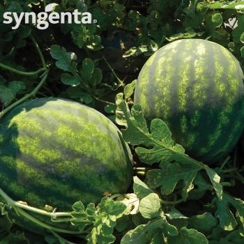 Seminte pepene verde Romanza F1(1000 sem), Syngenta