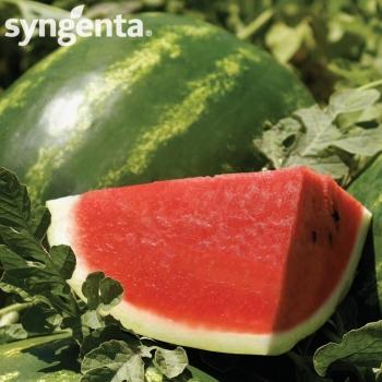 Seminte pepene verde Arashan F1(1000 sem), Syngenta
