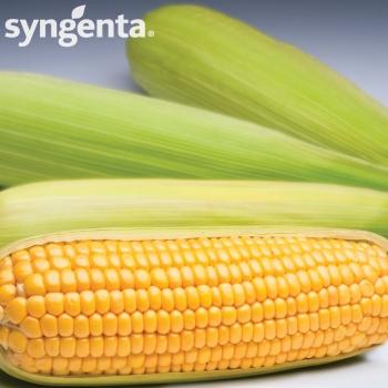 Seminte porumb dulce Spirit F1(50.000 seminte), Syngenta