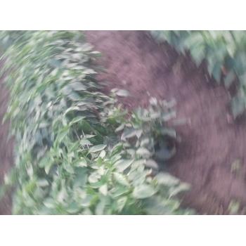 Seminte ardei lung Alexandru(2000 seminte), Agrosel #4