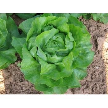 Seminte salata Touareg(1000 sem), Seminis