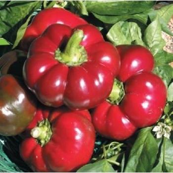Seminte ardei gogosar Stef(15000 sem), Agrosel