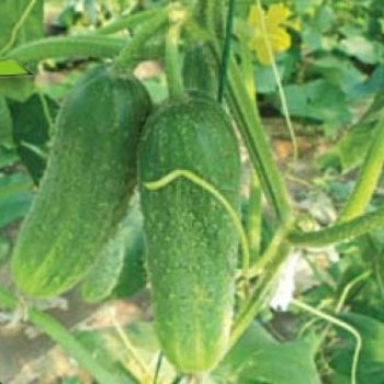 Seminte castraveti cornichon Geroy F1(500 sem), Agrosel