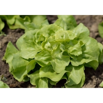 Seminte salata Butterhead Cosima(5000 sem), Agrosel