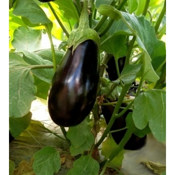 Seminte vinete Corvus(3000 sem), Agrosel