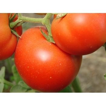 Seminte tomate Klass F1(100 seminte), Seminis