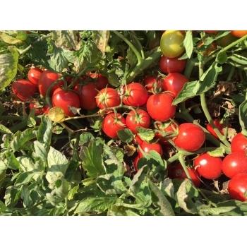 Seminte tomate Perfectpeel F1(25000 seminte), Seminis
