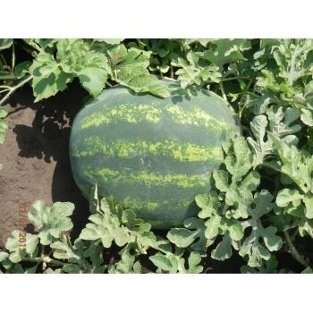Seminte pepene verde Bonta F1(250 seminte), Seminis #2