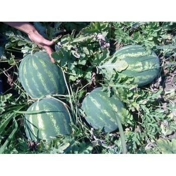 Seminte pepene verde Colosseo F1(250 seminte), Seminis