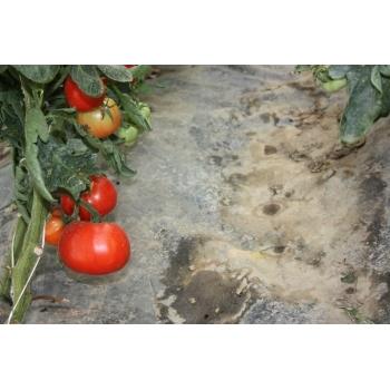 Seminte Tomate Elisabeta Agrosel (1 gr) #5