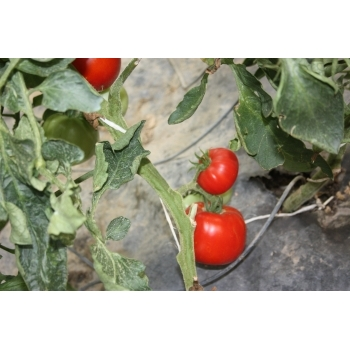 Seminte Tomate Elisabeta Agrosel (1 gr) #6