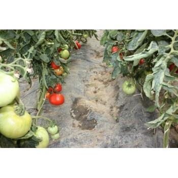 Seminte Tomate Elisabeta Agrosel (1 gr) #4