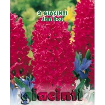 Zambile Jan Bos, floare de culoare rosu, inaltime planta 25 cm, Green Paradise