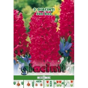 Zambile Jan Bos, floare de culoare rosu, inaltime planta 25 cm, Green Paradise #3