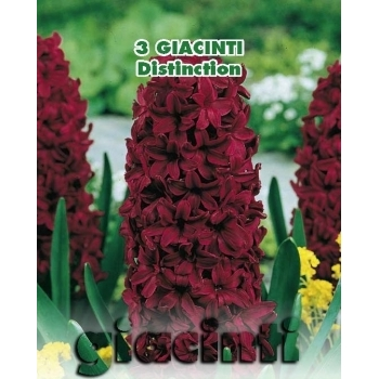 Zambile Distinction, floare violet, inaltime planta 25 cm, Green Paradise