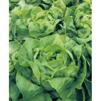 Seminte salata Alanis (1000 sem), Seminis #2