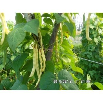 Seminte fasole urcatoare Ecaterina(20 gr) Agrosel #4