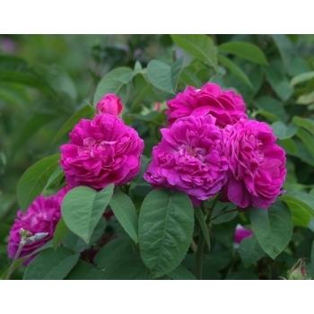 Trandafir pentru dulceata, cu floare batuta de culoare roz, Rose de Rescht,  Famous Roses #2