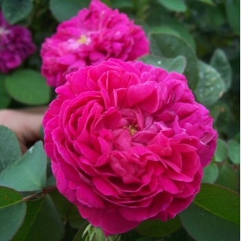Trandafir pentru dulceata, cu floare batuta de culoare roz, Rose de Rescht,  Famous Roses