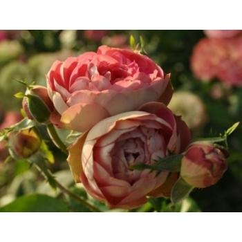 Trandafir  cu flori grupate, de culoare roz,  Acropolis,  Meilland #2