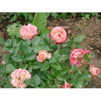 Trandafir  cu flori grupate, de culoare roz,  Acropolis,  Meilland #3