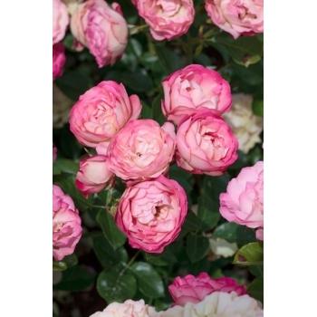 Trandafir  cu flori grupate, de culoare roz,  Acropolis,  Meilland