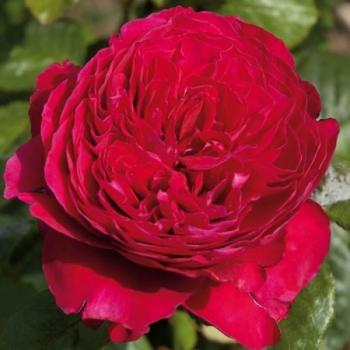 Trandafir cu flori mari, parfumate, de culoare rosu-cardinal,  Alain Souchon, Meilland #2