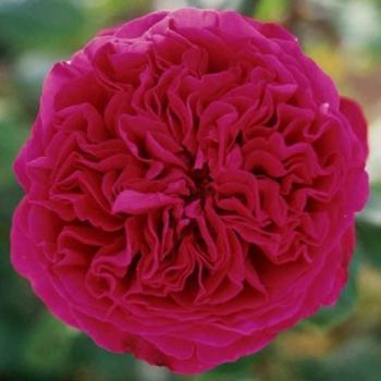 Trandafir cu flori mari, parfumate, de culoare rosu-cardinal,  Alain Souchon, Meilland #3