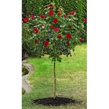 Trandafir pomisor, floare de culoare rosu-cardinal, Alain Souchon, Meilland